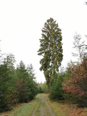 Skovens gigant